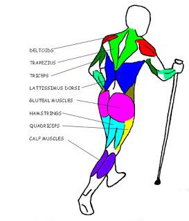 Grups musculars en moviment al caminar amb bastons